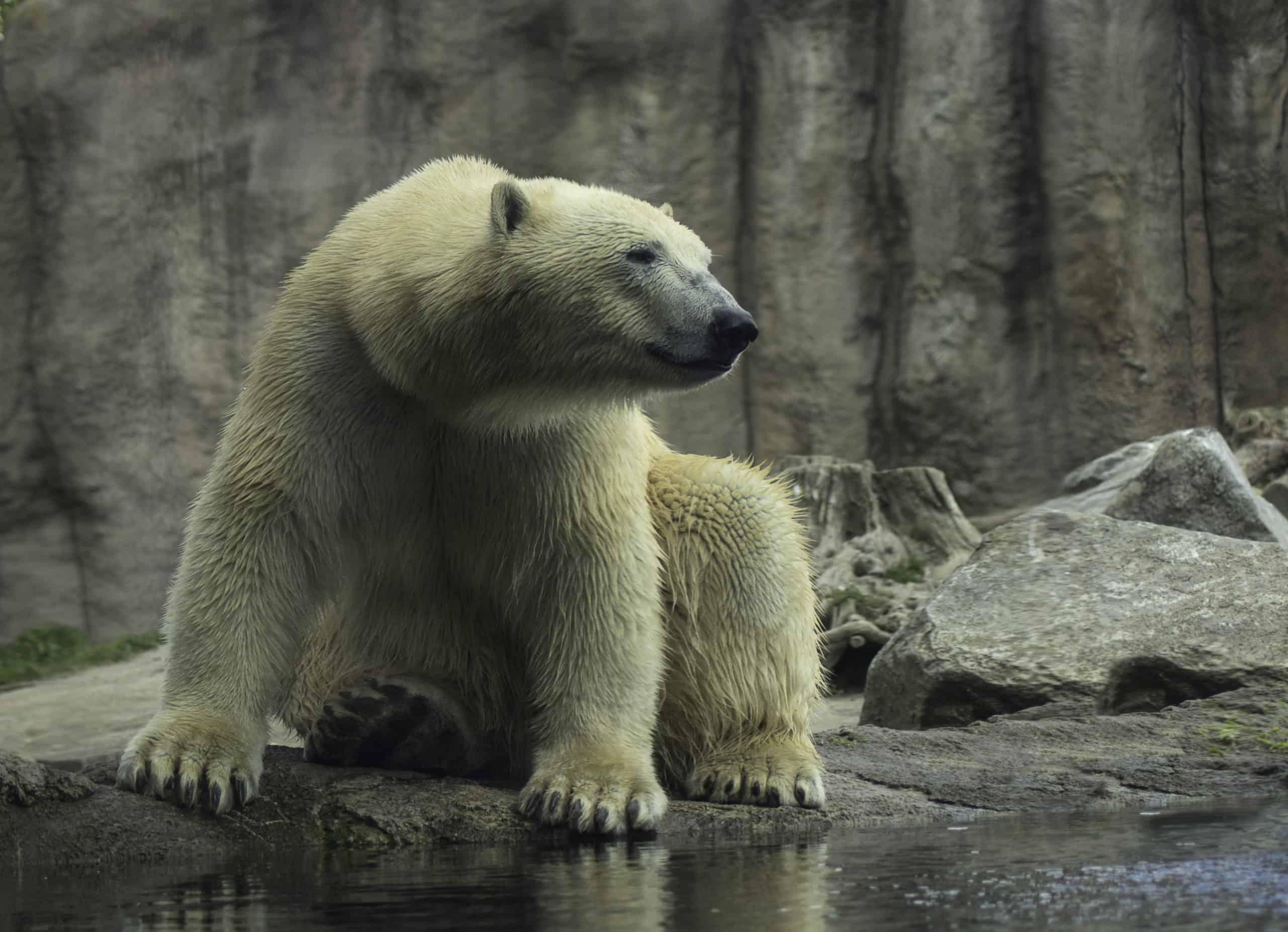 Минприроды впервые задумалось о численности белых медведей в РФ