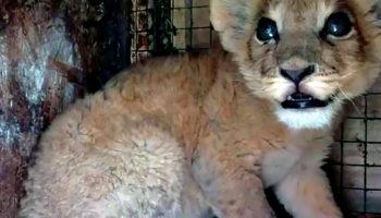 Карен Даллакян против ОПГ живодёров. Новая история спасения маленького львёнка 88