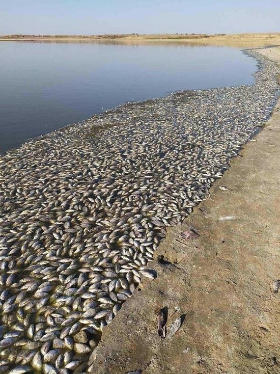 Массовая гибель рыб в старейшем водохранилище Калмыкии 1