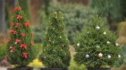 Арендуйте ёлку на Новый год: растения останутся живы, а природа чище 3