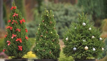 Арендуйте ёлку на Новый год: растения останутся живы, а природа чище 92