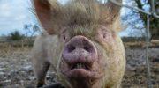 «Свинство» – фильм жителей Псковской области о грядущей экологической катастрофе в регионе 47