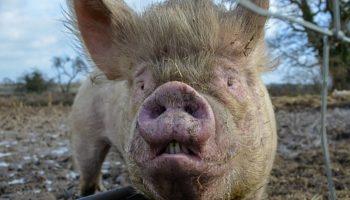 «Свинство» – фильм жителей Псковской области о грядущей экологической катастрофе в регионе 16