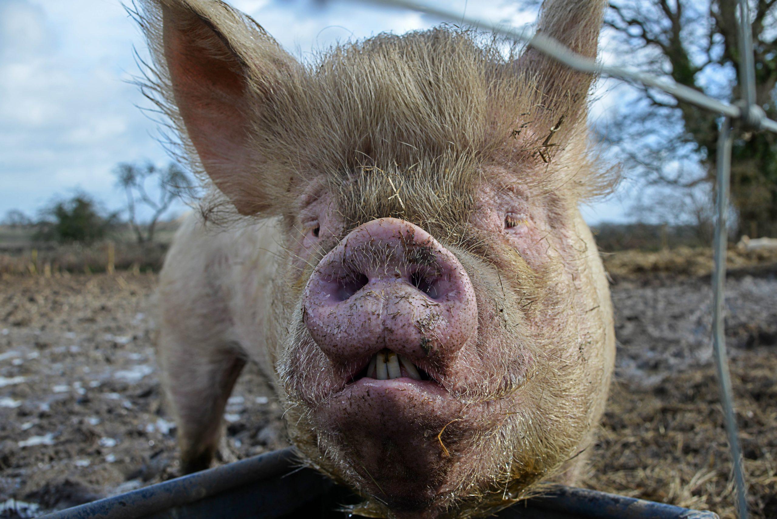 «Свинство» – фильм жителей Псковской области о грядущей экологической катастрофе в регионе 1